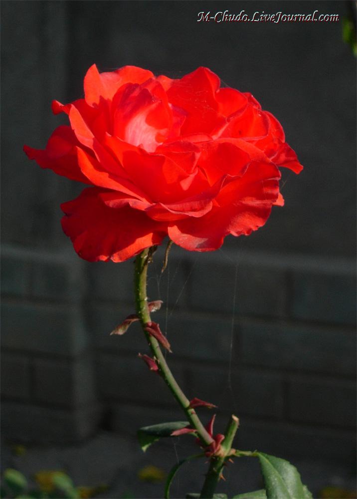 Алая роза из Ташкента