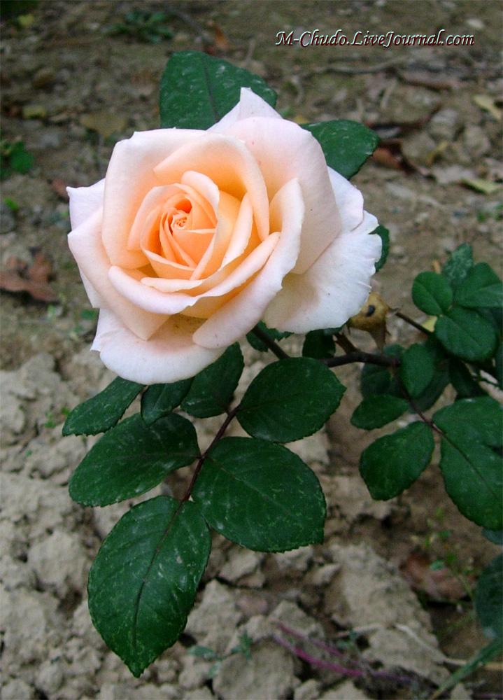 Белая роза из Ташкента