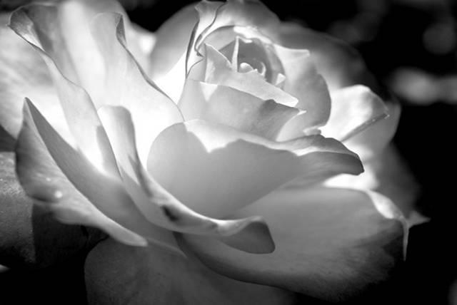 Роза черно-белая