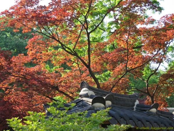 Разноцветные клены Секретного Сада