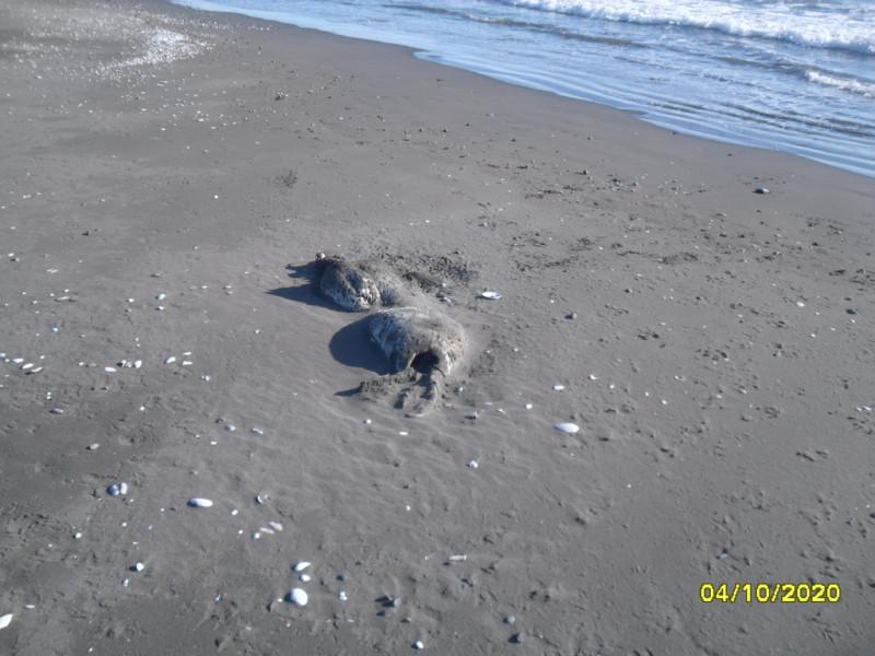 Дохлая нерпа на берегу Олюторского залива