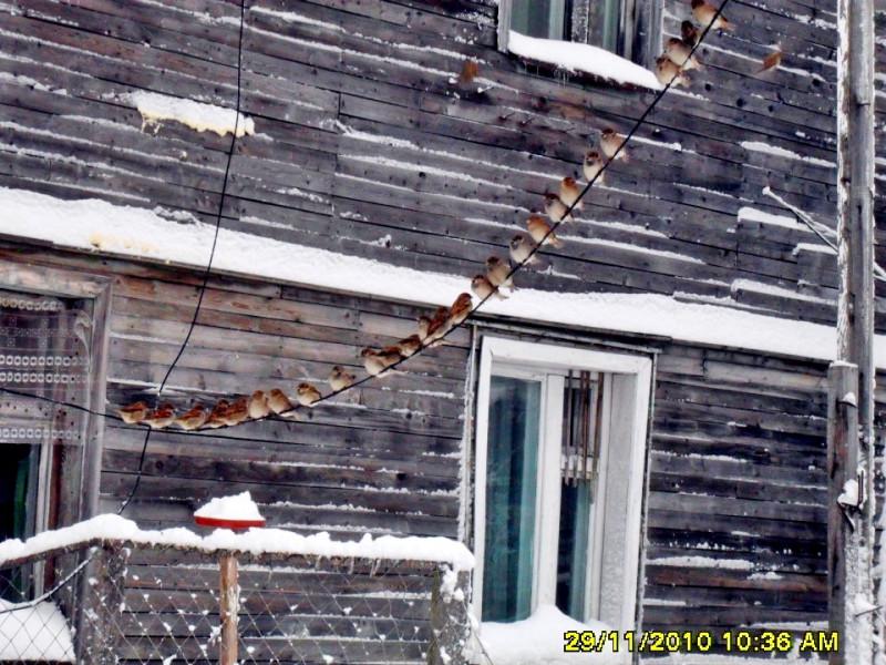 Камчатка Пахачи снег воробьи