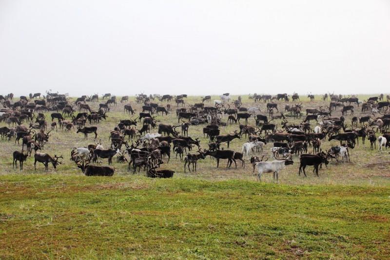 Чукотская тундра олени