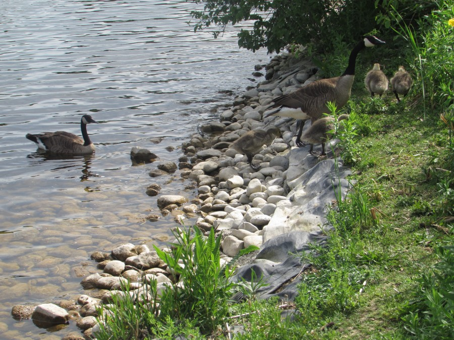 И гуси и шиповник... Июнь-месяц, чудный скверик с замечательным прудом.....