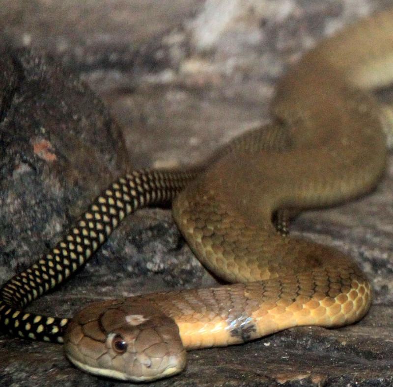 Ophiophagus hannah