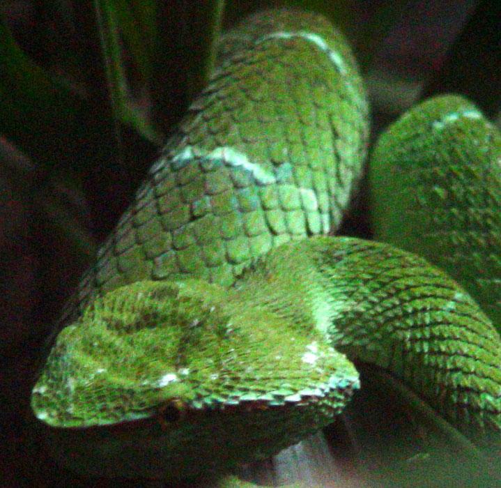 Trimerisurus insularis