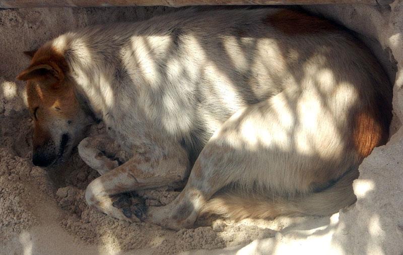 Lombok dog (2).jpg