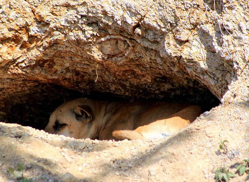 Lombok dog (3).jpg