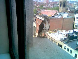 Hawk in Copley Square Photo #2