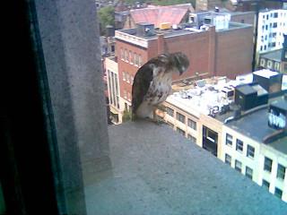 Hawk in Copley Square Photo #4