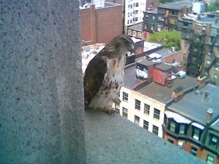 Hawk in Copley Square Photo #5