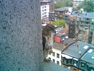 Hawk in Copley Square Photo #6