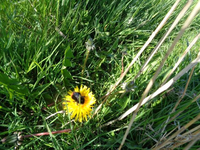 dandelion with bumblebee
