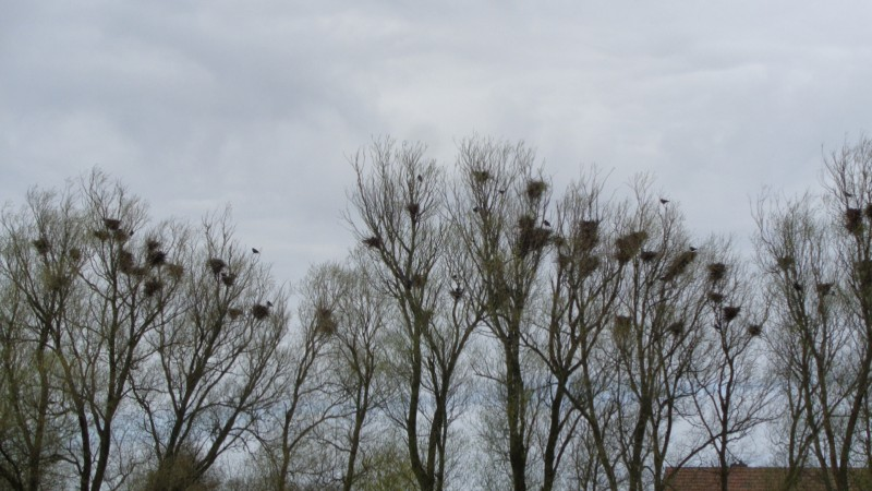 raven nests