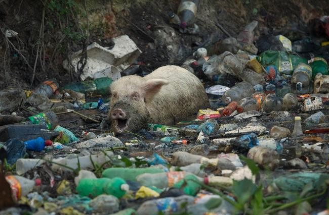 Свиньи против мусора