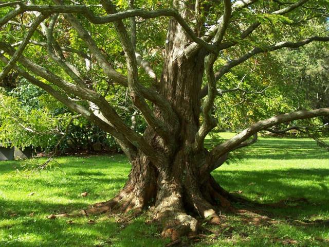 The Metasequoia Glyptostroboides