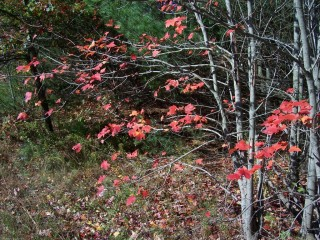Red Leaves Grey Branches