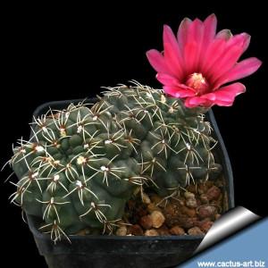 gymnocalycium-baldianum-planta-cactus-3-cm-D_NQ_NP_603966-MLM28180591689_092018-F