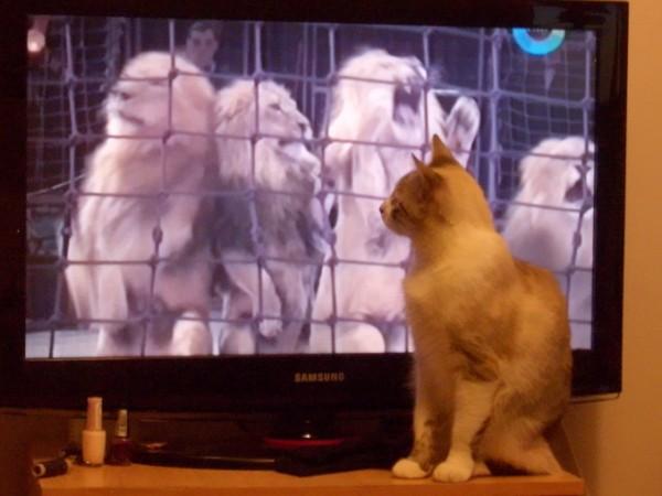 кошка телевизор