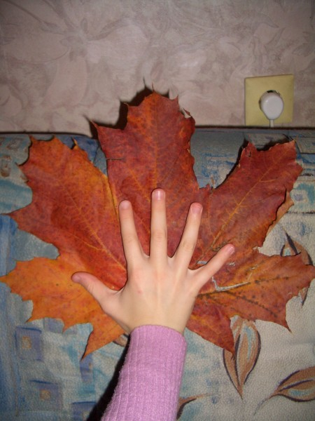 клен осень