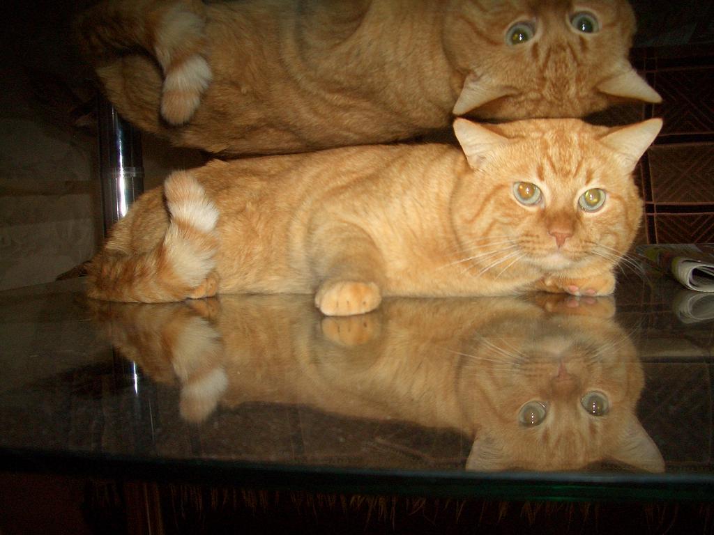 рыжий кот отражение