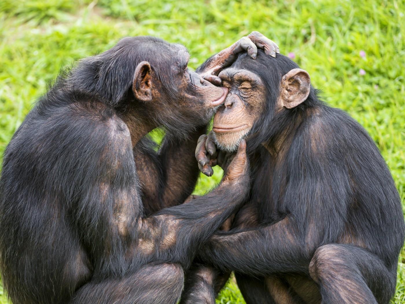 Обезьяна целует картинки