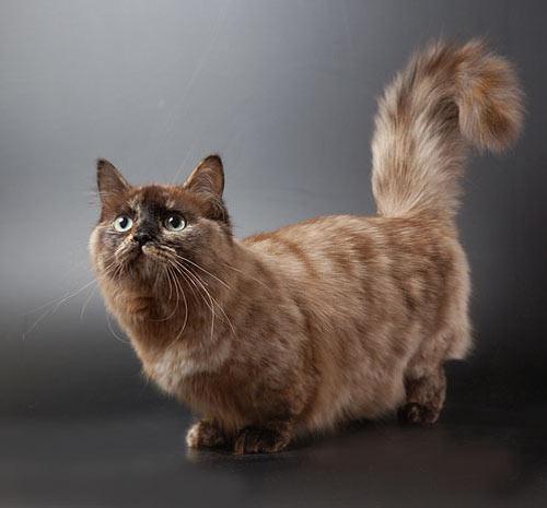 кот манчкин