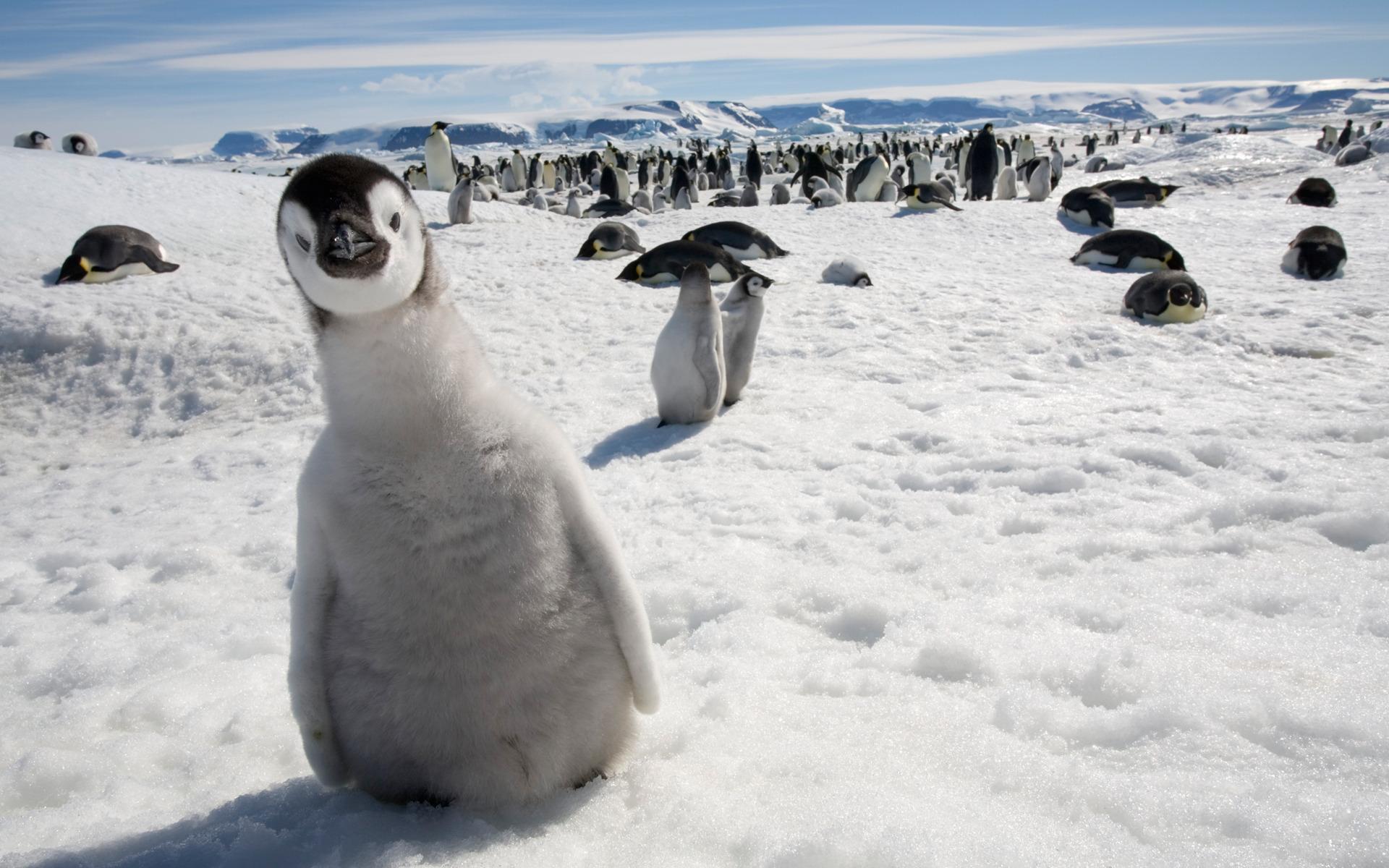 пингвины (5)