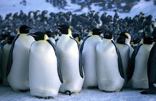 пингвины (4)