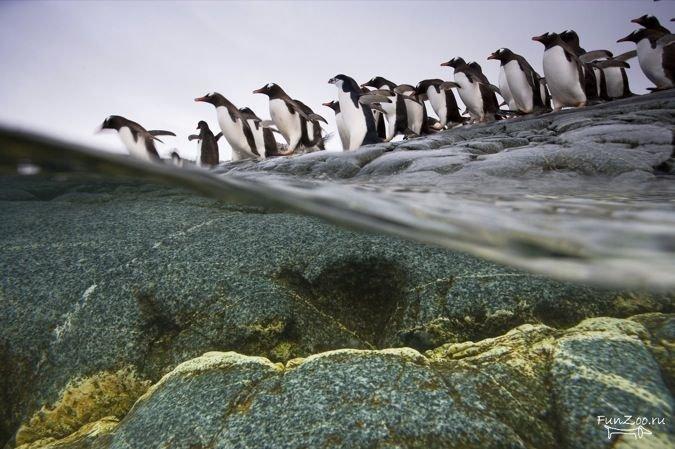 пингвины (1)