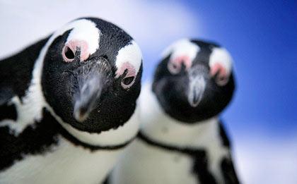 пингвины (2)