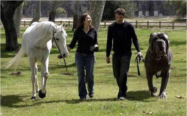 Неаполитанский мастиф по кличке Геркулес является самой большой собакой в мире.