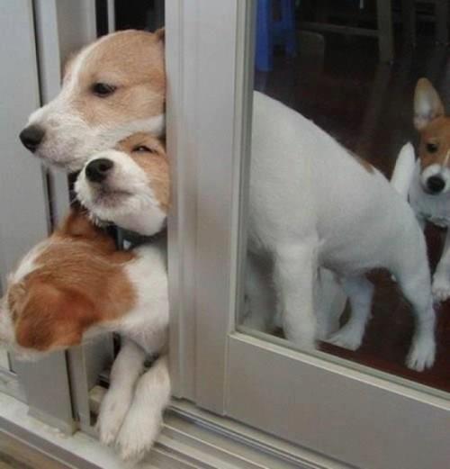 собаки улыбаки (2)