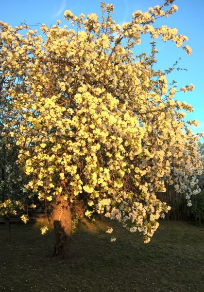 яблоня на закате