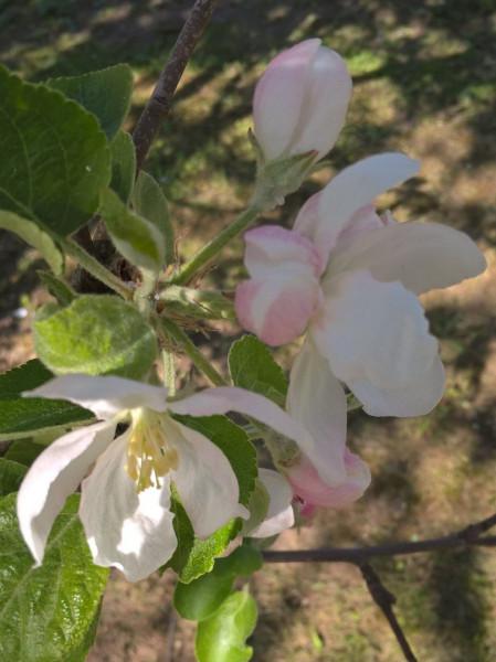 яблоня 1