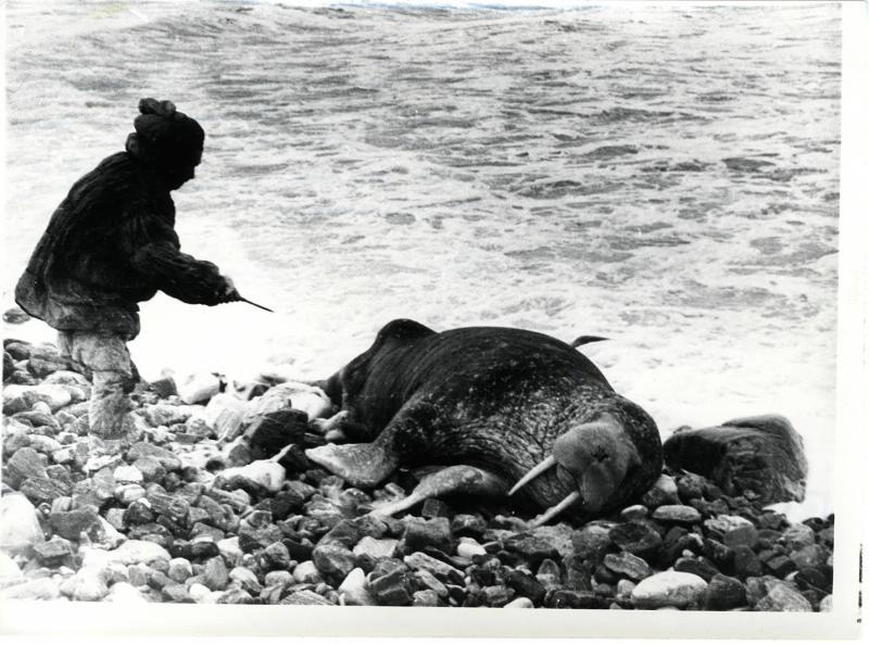 тарыий каюр Келеуги пытается забить ножом моржа..jpg