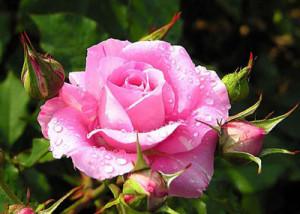 роза роса