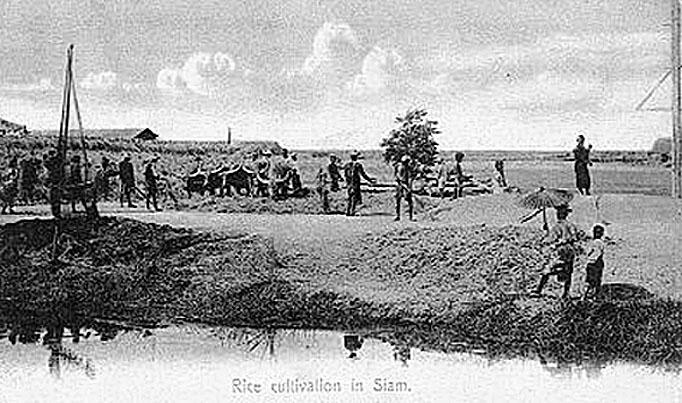 1920 Harvesting rice.jpg