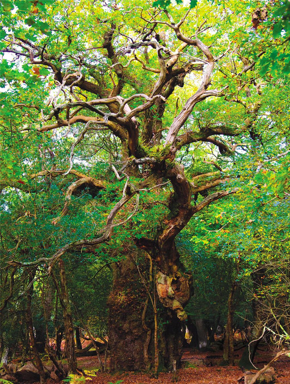 Gritnam Oak, Gritnam Park.jpg