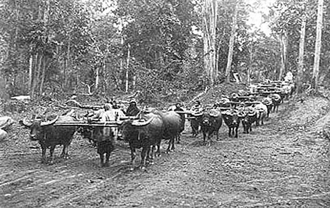 1922 Lampang Province Harvesting teak.jpg