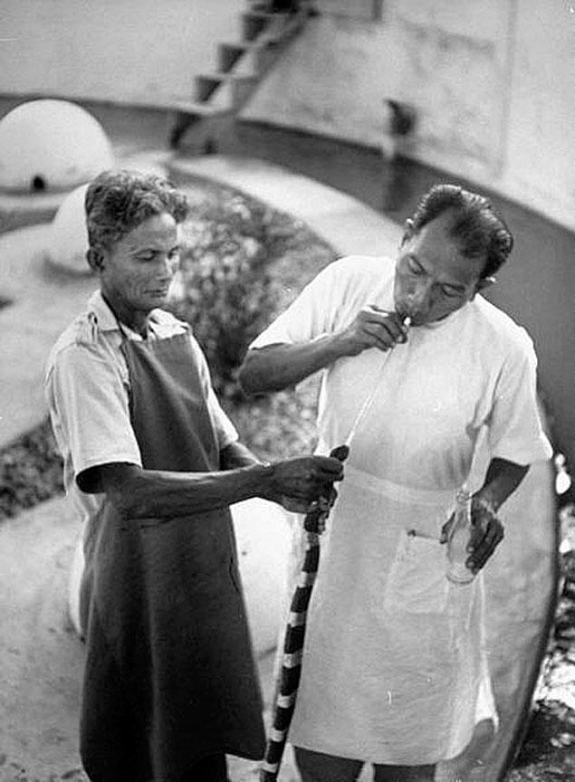1949 King cobras being milked at a research farm, Bangkok.jpg
