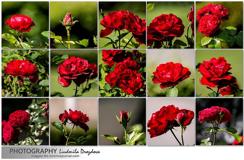 Люксембургские-розы