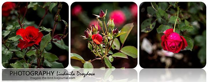 Розы-из-дендрария