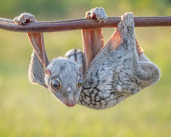 Малыш малайского шерстокрыла.