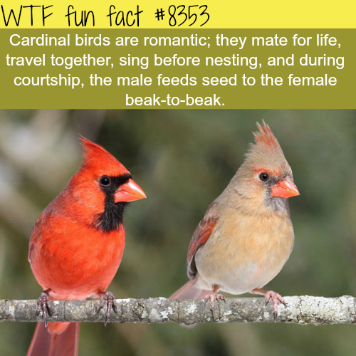 Cardinal birds - WTF fun facts