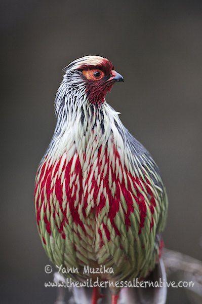 Blood Pheasant (Ithaginis cruentus tibetanus)