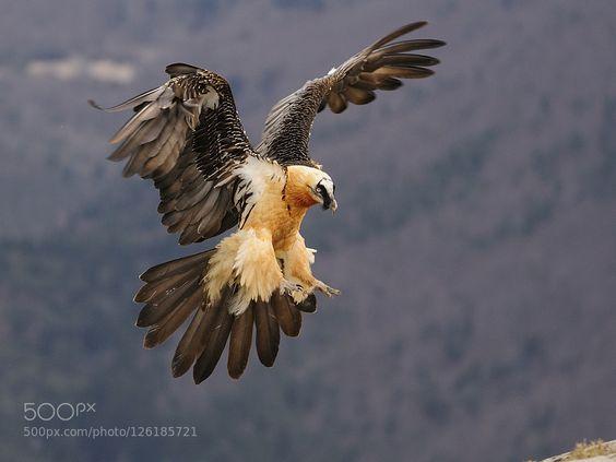 Gypaetus barbatus, Bearded Vulture