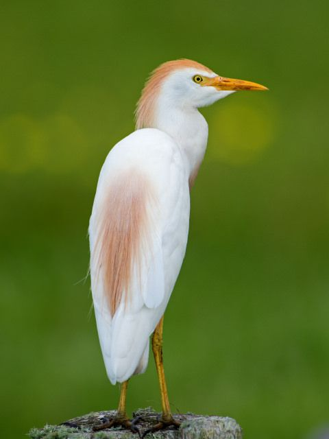 Bubulcus ibis ibis