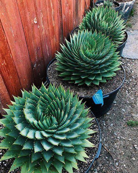 Aloe Polyphyll