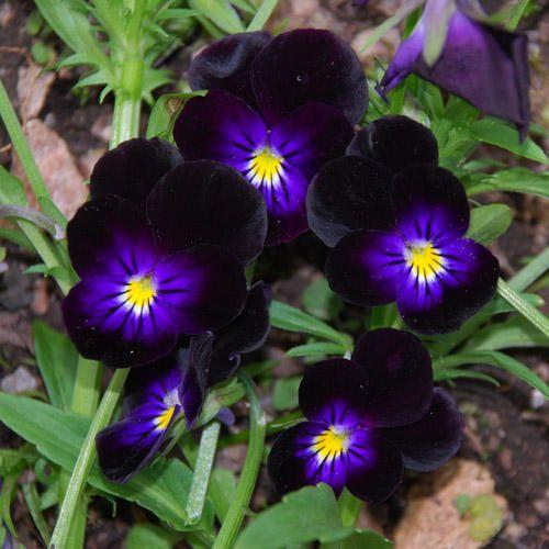 VIOLA 'BOWLES BLACK' SEEDS (Viola Tricolor)